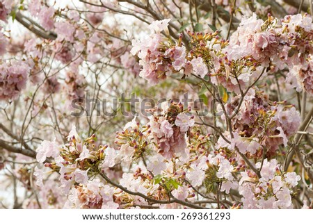 Tabebuia rosea is a Pink Flower neotropical tree. common name Pink trumpet tree, Pink poui, Pink tecoma, Rosy trumpet tree - stock photo