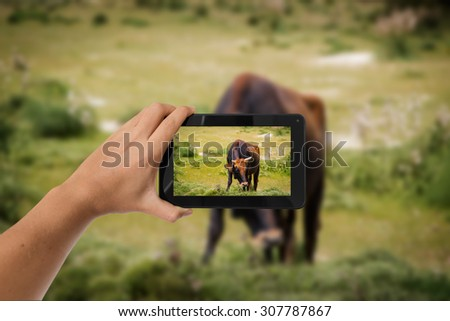 Tablet in hand photo shooting  a brown cow - these are all photos made by me, that you separately can find on my shutterstock portfolio. - stock photo