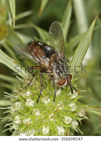 Tachinid fly - stock photo