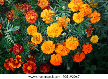 Tagetes bright flowers on the flower bed in the garden - stock photo