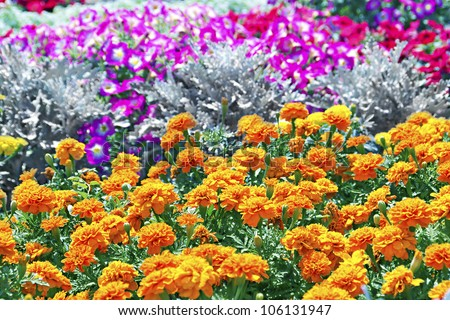 Tagetes flower on a bed in the background - stock photo