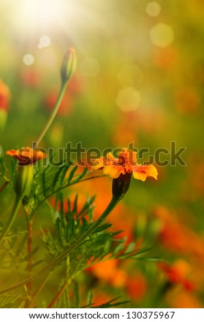 Tagetes flowers closeup against sunlight - stock photo