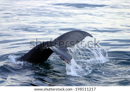 Tail fin of a gray whale in Atlantic  - stock photo