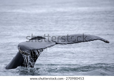 Tail fin of the mighty humpback whale - stock photo