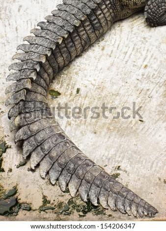 Crocodile tail - photo#15