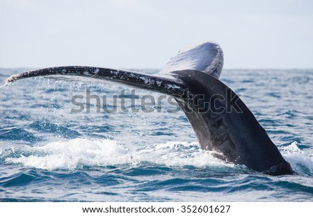 Tail of whale/Whale show the tail above water/It's a excellent photo, picture, illustration of wildlife in sea and ocean - stock photo