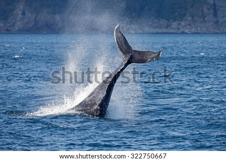 Tail slapping humpback whale - stock photo