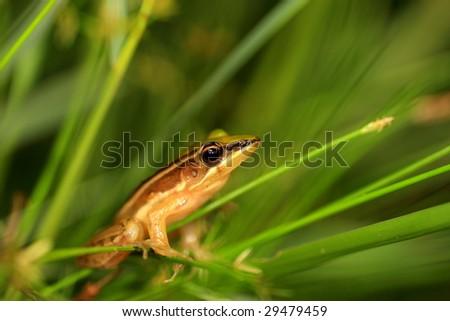 Taipei grass frog - stock photo