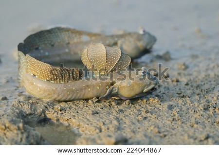 Taiwan er-Jen Creek on the estuaries, intertidal mudskippers, is witnessing a fish evolving into amphibians, had driven into the field within the scope of small creatures, such as fiddler crabs  - stock photo