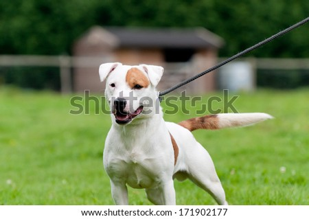 Take me for a walk-beautiful brown and white dog pulls on its lead as it goes for a walk outdoors in english countryside. - stock photo