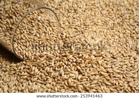 Tall beer glass with barley malt grains on a layer of malt - stock photo