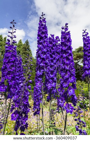 Tall dark blue delphinium flowers in a herbaceous border of an English Garden. - stock photo