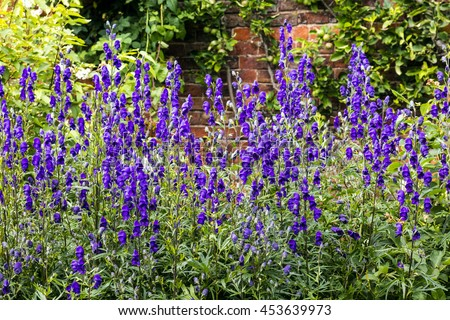 Tall deep blue Delphiniums in a herbaceous border of a cottage garden. - stock photo