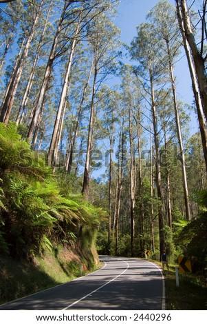 Tall Eucalypt Rainforest along Maroondah Highway, Black Spur, Victoria, Australia - stock photo