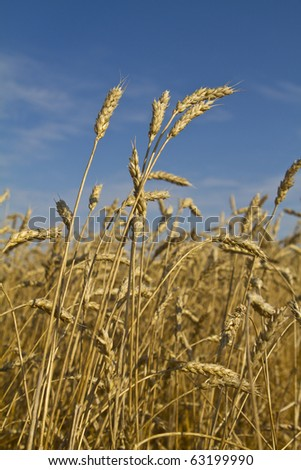 Tall golden wheat crop blowing in the wind under a bright blue sky - stock photo