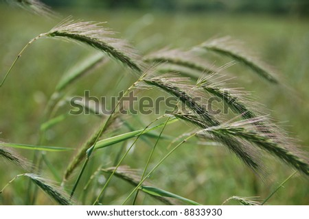 Tall Grass Blowing in Wind - stock photo