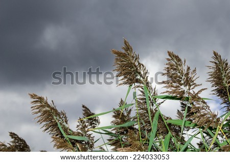 Tall grass blowing in wind with  stormy sky - stock photo