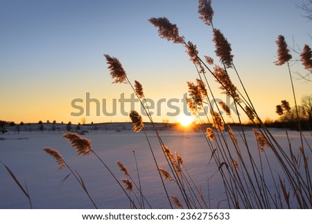 Tall grass with sun set in the background - stock photo