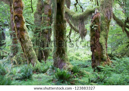 Tall, green  trees in largest rain forest in the western hemisphere, in Olympic National Park, Washington, USA - stock photo