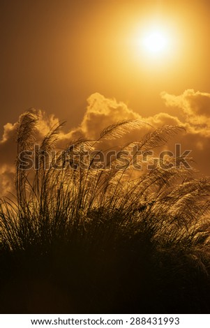 Tall pampas against bright summer's sunlight Tobago - stock photo