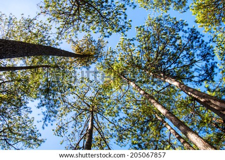 Tall pine trees in the forest against blue sky background - stock photo