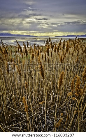 Tall reeds line The Great Salt Lake - stock photo