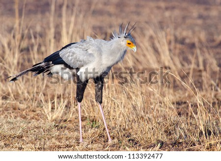 Tall secretary bird looking down into dry grass for possible prey - stock photo