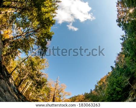 Tall trees in fisheye - stock photo