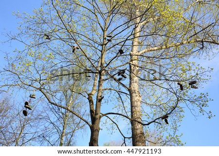 Tall trees with abandoned shoes on the branches in spring - stock photo