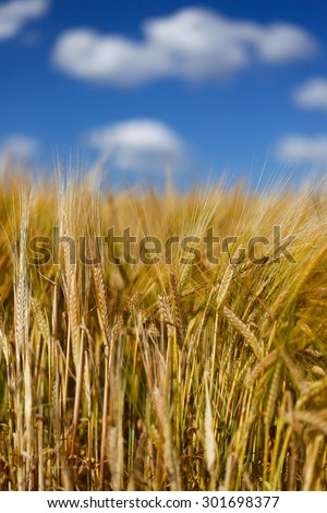 Tall Wheat/Barley crop plants growing in English countryside in Summer. Beautiful blue sky, bright white soft clouds, natural fine plant detail, patterns, texture, vibrant blue & neutral golden brown - stock photo