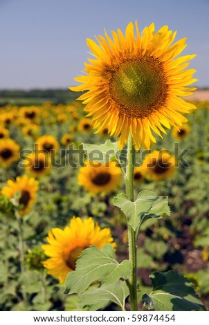 tall yellow sunflowers stands on a large field in the foreground - stock photo