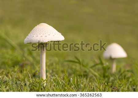 tall young mushroom after rain growing in wet green grassy field - stock photo