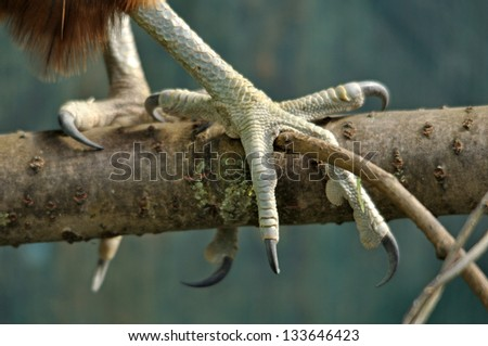 Talons of an immature female New Zealand Falcon, Falco novaeseelandiae, - stock photo