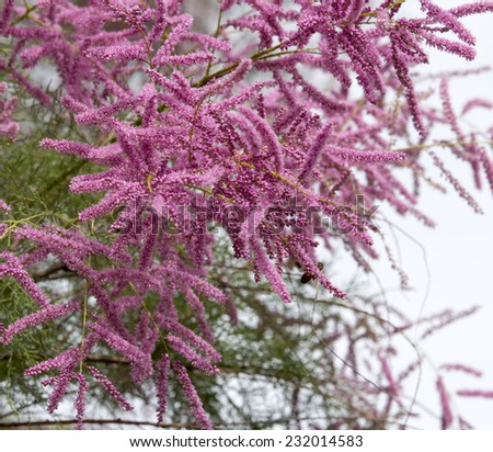 Tamarix ramosissima, commonly known as Saltcedar or Salt Cedar,  a deciduous arching shrub  with beautiful pink flower  racemes in spring and summer is a delightful small tree in parks and gardens. - stock photo
