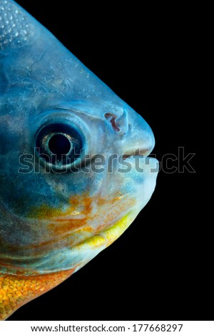 TAMBAQUI FISH HEAD DETAIL, STUDIO AQUARIUM SHOT   - stock photo