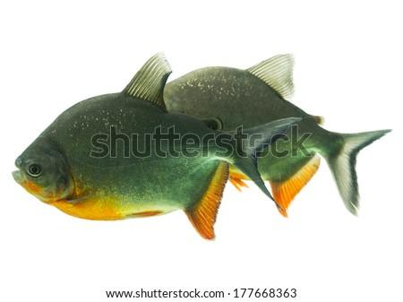 Tambaqui fish pair isolated on white, shallow dept of field, studio aquarium shot. - stock photo