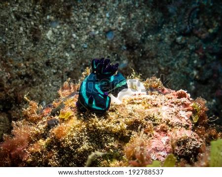 Tambja fantasmalis nudibranch - stock photo