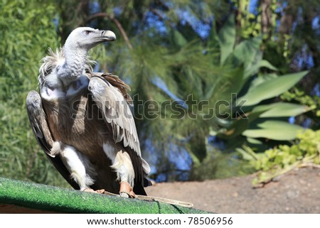 Tame Griffon Vulture standing on a board and looking into the distance - stock photo