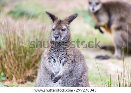 Tammar wallaby (Macropus eugenii). Wildlife animal. - stock photo