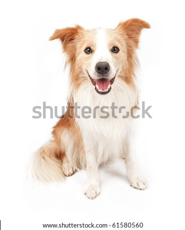 Tan and white Border Collie dog sitting down and looking forward. Isolated on white. - stock photo