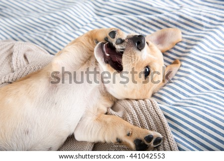 Tan Terrier Mix Puppy Rolling and Playing on Bed - stock photo