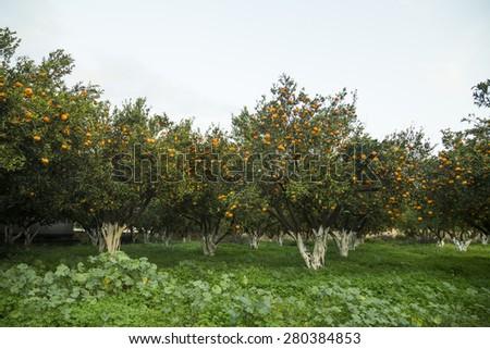 Tangerine garden - stock photo