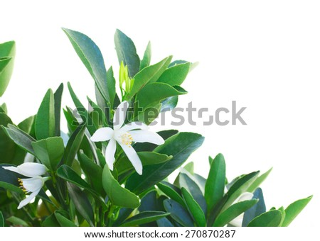 Tangerine tree branch with flowers  against white background - stock photo