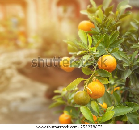 tangerine tree,  image with selective soft focus - stock photo