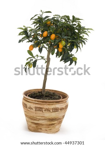 Tangerine tree in brown ceramic pot isolated over white - stock photo