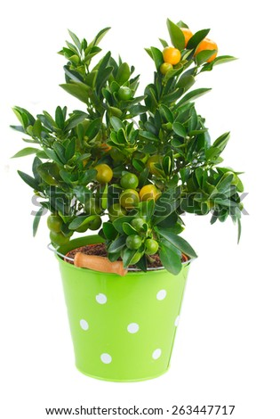 Tangerine tree in green pot isolated on white background - stock photo