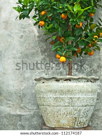 Tangerine tree in old clay pot, on stone wall background. - stock photo