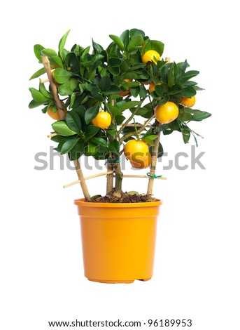 Tangerine tree with yellow fruits in yellow pot isolated on white - stock photo