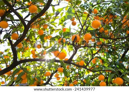 Tangerines Tree With Sun Beam - stock photo