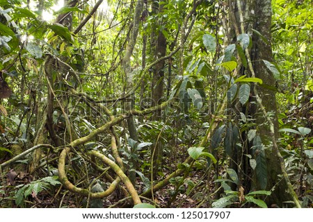 Tangle of lianas in the rainforest understory in Ecuador. - stock photo